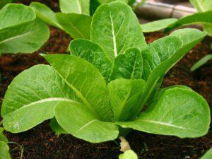 เมล็ดผักสลัดคอสเขียว