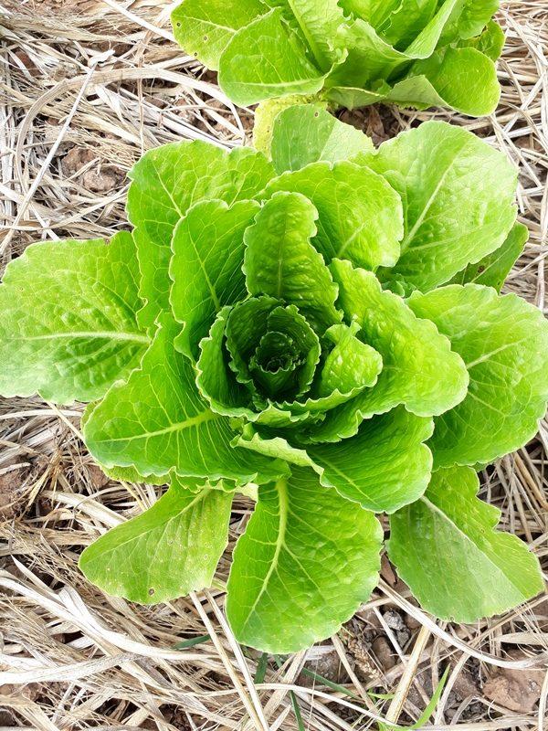 จำหน่ายเมล็ดผักสลัดคอสเขียว