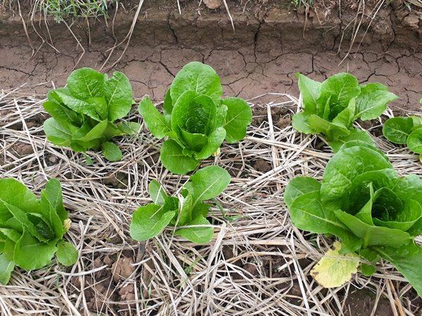 การปลูกผักสลัดคอสเขียว แบบอินทรีย์