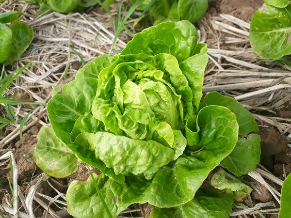 เมล็ดผักสลัดมินิคอส อินทรีย์ ราคาถูก