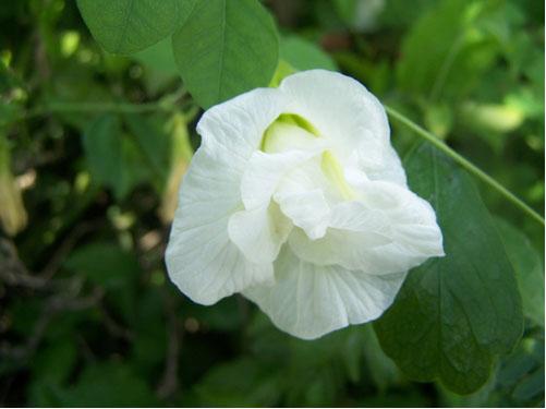 เมล็ดพันธุ์ดอกอัญชัญสีขาว
