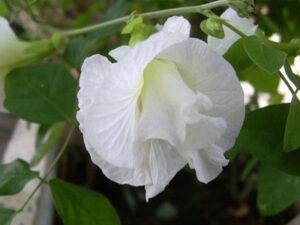 พันธุ์ดอกอัญชัญสีขาวดอกซ้อน