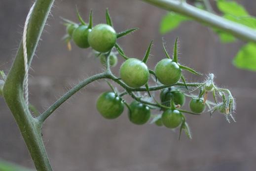 เมล็ดพันธุ์มะเขือเทศซันเซอรี่