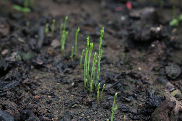 เมล็ดพันธุ์หน่อไม้ฝรั่งอินทรีย์