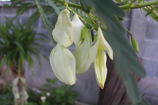 เมล็ดพันธุ์ดอกแคขาว 2