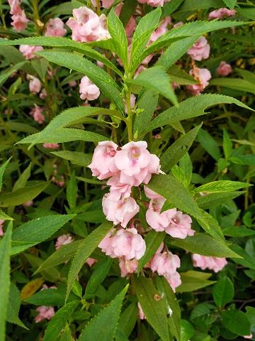 จำหน่ายเมล็ดพันธุ์ดอกเทียนสีชมพู