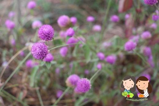 ขายเมล็ดพันธุ์ดอกบานไม่รู้โรยสีชมพู