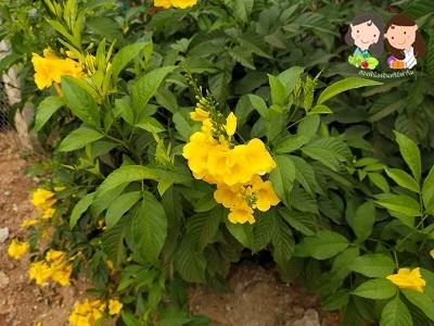จำหน่ายเมล็ดพันธุ์ดอกทองอุไร 2