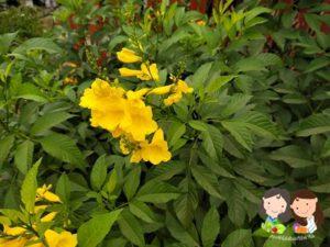 จำหน่ายเมล็ดพันธุ์ดอกทองอุไร
