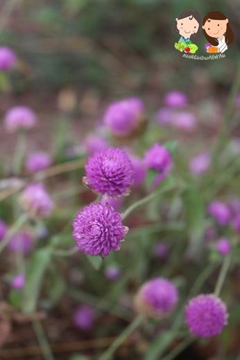 จำหน่ายเมล็ดพันธุ์ดอกบานไม่รู้โรยสีชมพู 1