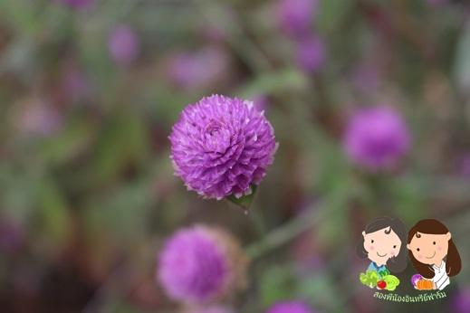 จำหน่ายเมล็ดพันธุ์ดอกบานไม่รู้โรย