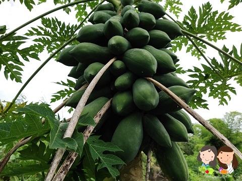 จำหน่ายเมล็ดพันธุ์มะละกอแขกดำ 2