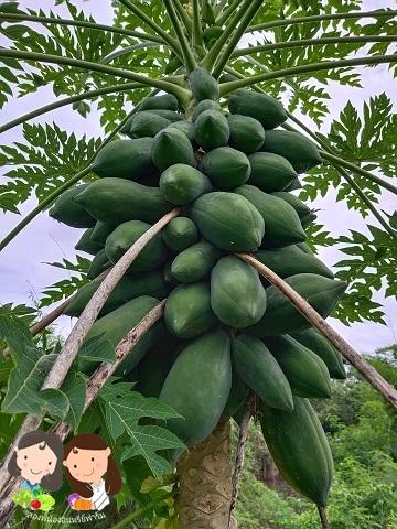 จำหน่ายเมล็ดพันธุ์มะละกอแขกดำ