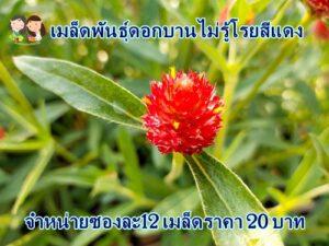 เมล็ดพันธุ์ดอกบานไม่รู้โรยสีแดง